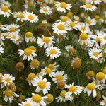 カミツレ花エキス(カモミラET)化粧品の優れた美白効果!アレルギーや毒性は?