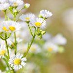 香り豊かなカモミールの効果と効能は?使い方と副作用もご紹介!